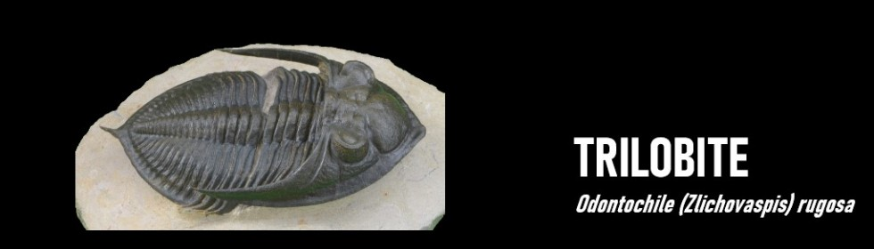 trilobite Odontochile
