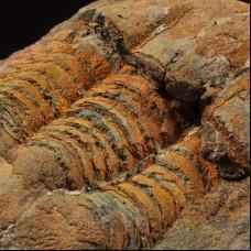 Ordovician trilobite - Illaenus sp. P+N