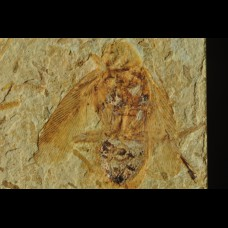insect  - Lower Cretaceous