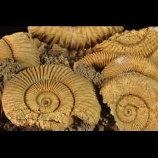 Dactyloceras athleticum (SIMPSON)