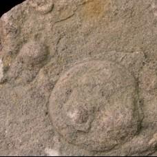 Beltanelliformis brunsae