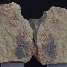 Trilobites Agerina sp. & Bathycheilus sp.