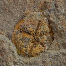 Edrioasteroid - Spinadiscus lefebvrei