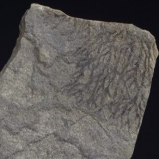 Bohemograptus sp.