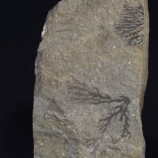 Dendrograptus sp.& Bohemograptus sp.