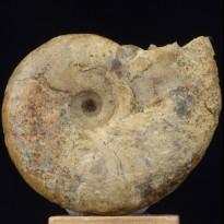 Ammonite Beudanticeras newtoni