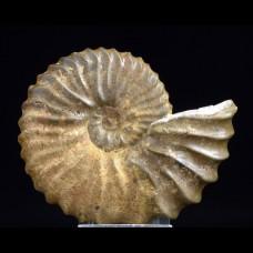 Ammonite Tetrahoplites rossicus