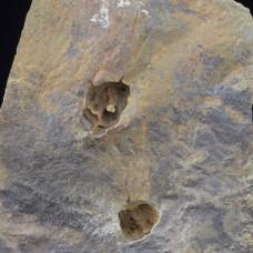 2 Eocrinoids Lichenoides priscus