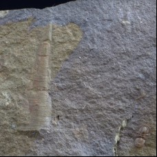 Rare trilobite Peronopsis integra & hyolithe Jincelithes vogeli