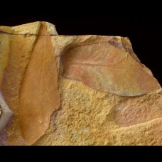 Glossopteris browniana
