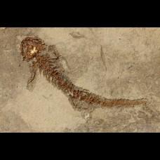 Salamander Chelotriton paradoxus