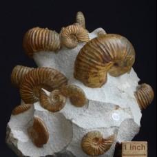 Ammonites Cheloniceras cornuellianum, Deshayesites grandis and Euphilloceras sp.