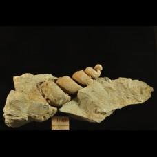 cretaceous gastropods molds