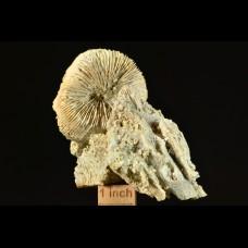 corals Montlivaltia sp. + Thecosmilia sp.