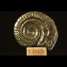 PYRITIZED AMMONITE Hildoceras bifrons age: Toarcian (Jurassic)