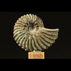 Ammonite Hoplites dentatus