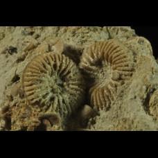 silurian coral Palaeocyclus porpitus (LINNAEUS)