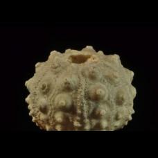 echinoid Hemicidaris intermedia