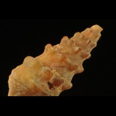 Agatized gastropod