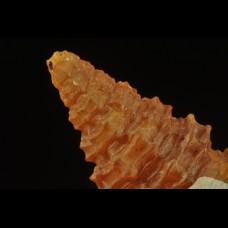 agatized gastropod - Age: Miocene