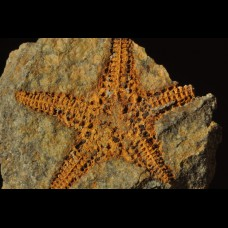 Starfish Petraster sp.