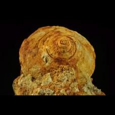 jurassic gastropod Pleurotomaria sp.