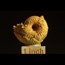 jurassic ammonite Macrocephalites sp.  prepared by erosion