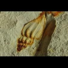 Gastropod Rostellana aequecostata