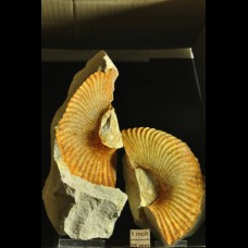 heteromorf ammonite - Bostrychoceras sp.