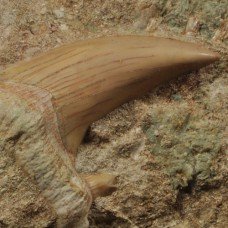 2 shark's teeth Othodus sp.
