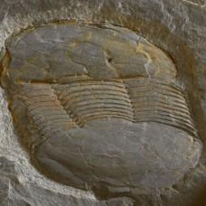 Ectilaneus giganteus
