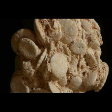 Rotuloidea fimbriata Etheridge 1872