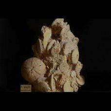 Rotuloidea fimbriata Etheridge 1874 + Echinolapas hoffmani