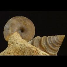 Pyrgotrochus sp. Obornella sp.