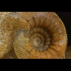 Stephanoceras sp. Obornella sp.