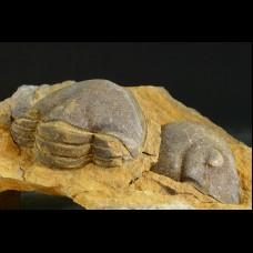 Trilobite Platillaenus sp.