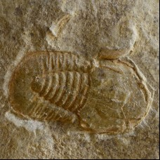 trilobite Cyclopyge sp.