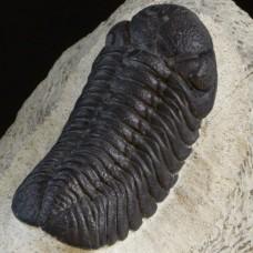 trilobite Baranderops sp.