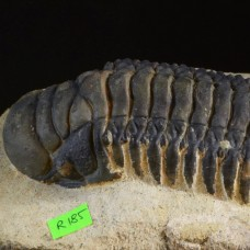 trilobite Crotalocephalus gibbus