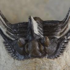 trilobite Leonaspis sp.