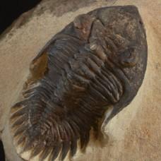 trilobite Metacanthina issoumourensis