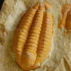 trilobite Euloma sp.
