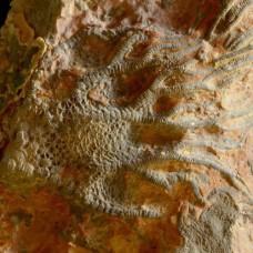 crinoid Scyphocrinites elegans