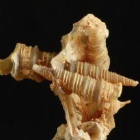 paleo-art chaledony gastropods