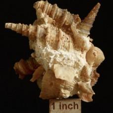 paleo-art chalcedony gastropods