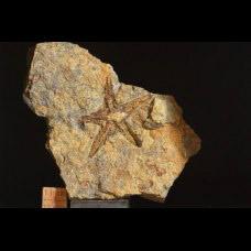 Ordovician starfish