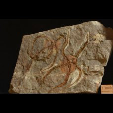 brittle star Ophiuroidea