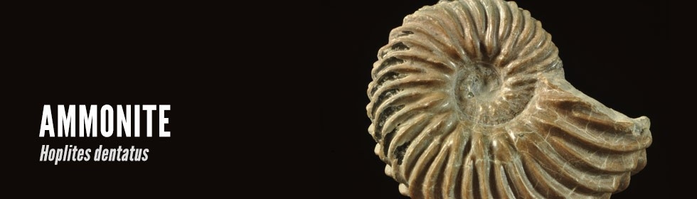 ammonite Hoplites dentatus