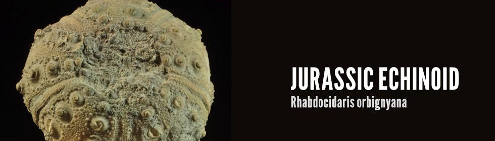 jurassic echinoid Rhabdocidaris orbignyana