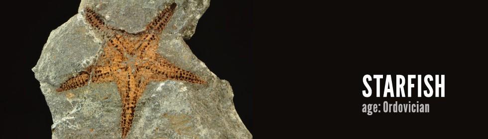starfish Petraster sp.